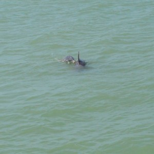 20140522_4131_dolphins