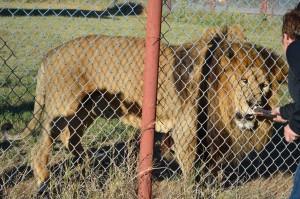 20141108_5093_lion