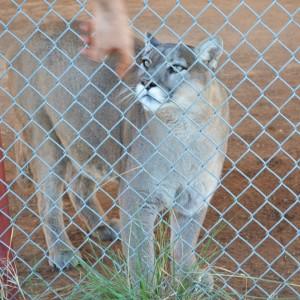 20141108_5094_cougar