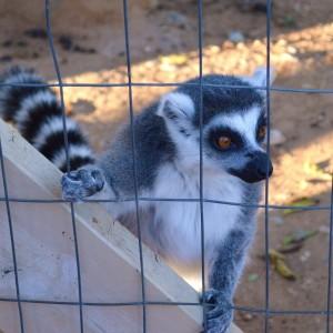 20141108_5164_lemur