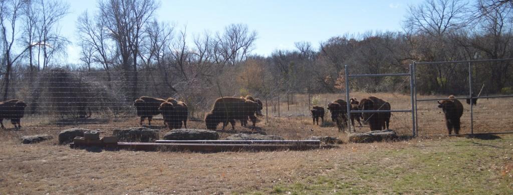 20150103_5681_bison