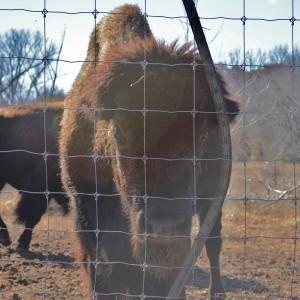 20150103_5684_bison