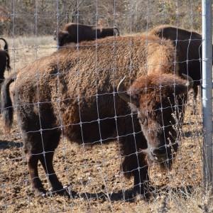 20150103_5685_bison