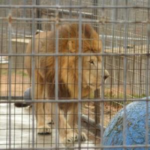 20151125_6322_lion