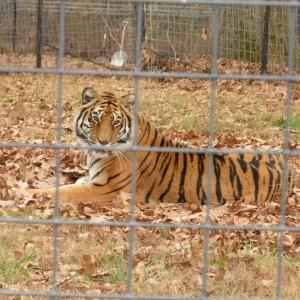 20151125_6347_tiger