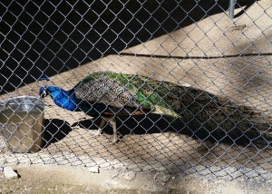 2016-03-28_peacock