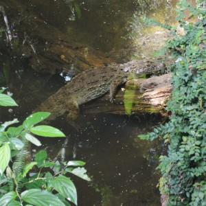 20170323_7665_crocodile